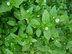 Wild chickweed benefits as a cleansing, demulcent expectorant useful for clearing the lymph and healing the skin and contains triterpenoid saponins, rutin and coumarin. Healing Herbs, Medicinal Plants, Natural Healing, Natural Home Remedies, Herbal Remedies, Clear Skin Diet, Orange Julius, Wild Edibles, Edible Plants