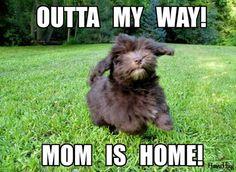 Cutest Dog Ever :)   HavaHug Havanese