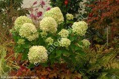 hortensja bukietowa LITTLE LIME 'Jane' - Hydrangea paniculata LITTLE LIME 'Jane' PBR ®   Katalog roślin - e-katalog roślin