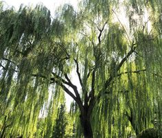 Under the Willow Tree  so want a willow tree