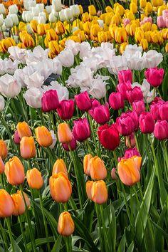 Keukenhof Gardens - Jim Zuckerman Photography