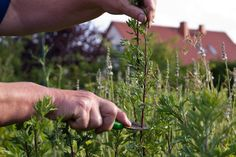 Frische Kräuter trocknen - Tipps & Tricks @ diybook.at Tricks, Drying Herbs, Fresh