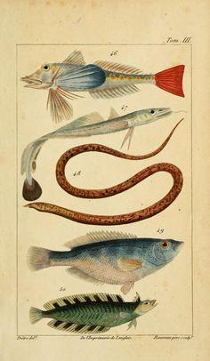 Histoire naturelle des principales productions de l'Europe méridionale et particulièrement de celles des environs de Nice et des Alpes Maritimes. By Risso, A. (Antoine), 1777-1845 - Biodiversity Heritage Library
