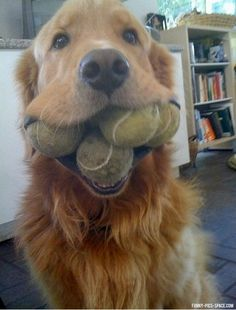 Aroon has a way to go -- he can only do 2 balls and a stick! from Funny Animal Picdump Vol. 2, Lol Dogs