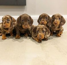 There aint to party like a sausage dog party . There aint to party like a sausage dog party . Dapple Dachshund, Dachshund Love, Cute Dogs And Puppies, Baby Dogs, Doggies, Pet Dogs, Winnie Dogs, New Puppy Checklist, Cute Baby Animals
