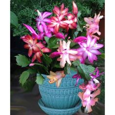 Trio of Christmas Cactus (Schlumbergera hybrids) a swirl of colors in tones of golden yellow, pink, red, and white. You get Christmas Flame, Cristen, and Dark Marie