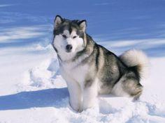 Alaskan Malamute dog, in the snow, USA - Dog Breeds for Apartments Alaskan Husky, Alaskan Malamute For Sale, Beautiful Dogs, Animals Beautiful, Cute Animals, Sweet Dogs, Cute Dogs, Awesome Dogs, Tibet Terrier