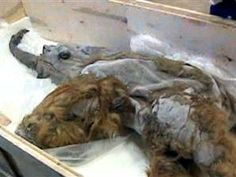 TODAY.com: Well-preserved mammoth could be used for cloning