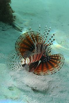 ^Lionfish - Bali