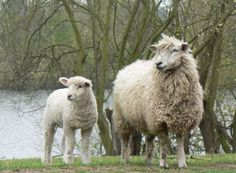 """Cotswold    Cotswold sheep are a breed of domestic sheep originating in the Cotswold hills of the southern midlands of England. It is a dual-use breed providing both meat and wool. As of 2009, this long-wooled breed is relatively rare, and is categorized as """"minority"""" by the Rare Breeds Survival Trust of the U.K."""