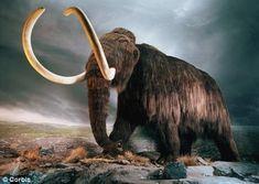 Mammouth laineux (Mammuthus primigenius)Le mammouth laineux (Mammuthus primigenius) est une espèce éteinte de la famille des Éléphantidés et l'un des représentants du genre Mammuthus. Apparu il y a 200 à 300 000 ans, il a occupé toute l'Eurasie, de la péninsule Ibérique et l'Écosse jusqu'en Sibérie et même l'Amérique du Nord qu'il a atteint par le détroit de Béring, exondé durant les glaciations.
