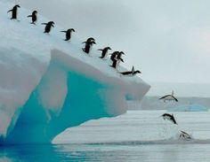 Adelie penguins group dive ~ Antarctic Peninsula