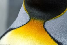 The collar of a king penguin. King penguins are the second largest on Earth…
