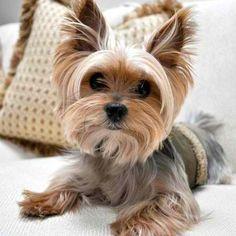 Yorkie dog! Really cute!
