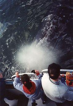 Go Whale Watching in Washington State - bucket list.  Gray Whale Watching in Westport, Washington