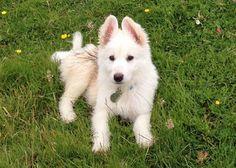 Nanook the German Shepherd Pictures 918416-I've never seen a pure white German Shepard-he's beautiful!