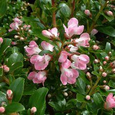 apple blossom escallonia - Google Search