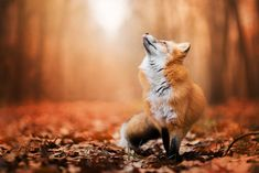 Download wallpaper autumn, Fox, foliage, Fox, section animals in resolution 2048x1366