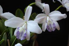 Laelia sincorana var. coerulea - Flickr - Photo Sharing!