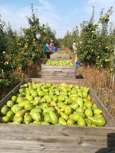 Grape Vineyard, Pears, Fruits And Veggies, Farming, Nature, Beautiful, Productivity, Products, Stuff Stuff