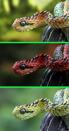 Fake - Various colors of Viper - This viper is green and black as shown in the…
