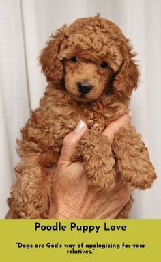 Check out the webpage to read more about Poodles #poodlelove Follow the link to find out more