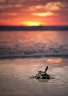"Turtle: "" See You Later!""  (Title Given By The Photographer: Chris Johnson on 500px.)"