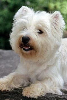 West Highland White Terrier - there's our Dixie!