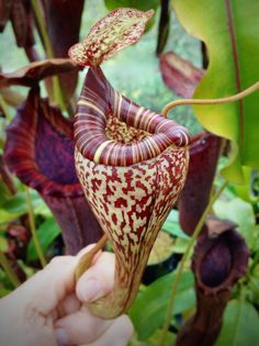 Nepenthes vogelii, upper pitcher