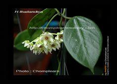 Hoya thailandica