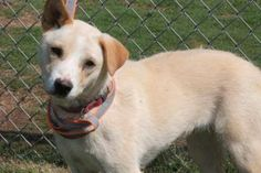 Wendy: 8-month-old retriever beauty is out of time at high-kill SC shelter