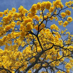 Guayacán amarillo que me hace soñar