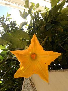 """Una """"stella"""" arrampicata sull'albero di arancio. """"Intrusione """" piacevole .."""