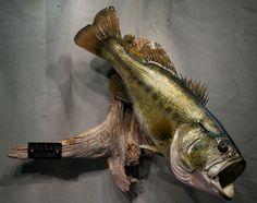 14½lb. Largemouth Bass