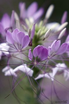 Cleome - Spider Plant - Lavender, Purple, Green