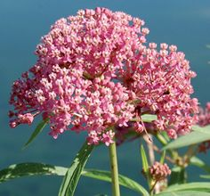 Red Milkweed for 2012