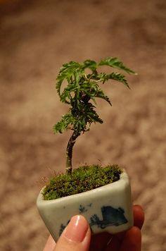 豆盆栽、はじめました。  もともと小さいもの好きですが、 この豆盆栽にはすごくロマンを感じていて。  樹齢何年にもなる木が、 自分の手のひ...