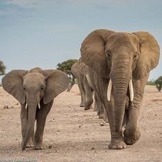 The elephants of Mashatu