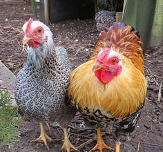 Hühners beste Bilder