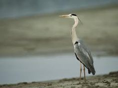 standing heron - Google Search Budget Fashion, Cool Posters, Prints For Sale, Custom Framing, Heron, Cool Stuff, Animals, Google Search, Art