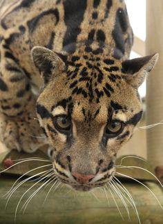 Clouded leopard |