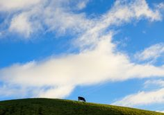 Trademark image of the #Azores. #Cow Power! :)
