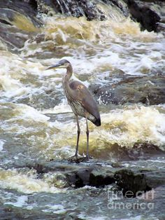 Brave Heron by Elizabeth Dow - Brave Heron Photograph - Brave Heron Fine Art Prints and Posters for Sale