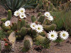 Echinopsis (Trichocereus) candicans | Location: Yucca Flat; Family: Cactaceae; Origin: Argentina