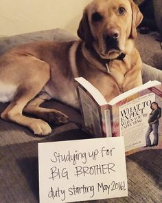 If you've got a pregnancy to announce on social media, why not involve your dog? Here are some of our favorite dog pregnancy announcement ideas! Fun Pregnancy Announcement, Ivf Pregnancy, Grandparent Pregnancy Announcement, Pregnancy Photos, Baby Announcements, Announce Pregnancy, 5 Weeks Pregnant, Pregnant Dog, Baby Planning