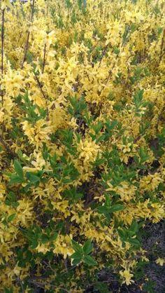 Forsythia http://www.growplants.org/growing/forsythia