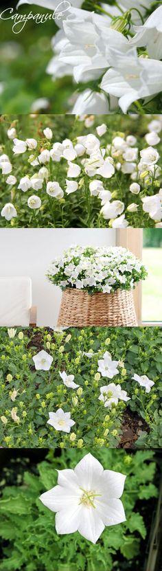 """Vivace incontournable, très """"virginale"""" en blanc. Coupez plusieurs boutures de 5 cm possédant chacune 3 ou 4 paires de feuilles et plantez-les à une profondeur de 2 cm dans un petit contenant de terreau et de sable humide. Mettez-les au chaud dans la pénombre. 3 semaines après, transplantez 3 ou 4 boutures par pot de 8 cm. Arrosez peu durant 1 mois, puis vous pourrez installer les plants à leur emplacement définitif. White Flowers, Beautiful Flowers, Pot Jardin, White Gardens, Plantation, Green Garden, Garden Crafts, My Flower, Horticulture"""
