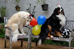 Harry - Bernese Mountain Dog Sarah - Kuvasz Birthday Party | Flickr