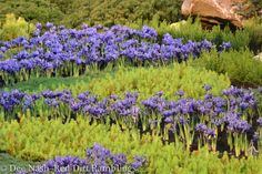 Iris reticulata and sedum creating a river and its bank in the The Tiny Tetons at the Northwest Flower and Garden Show. Iris Reticulata, Water Wise, Garden Show, Garden Inspiration, Interior And Exterior, Flora, Projects To Try, Bulbs, Plants