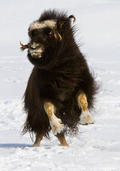 Musk Ox playing in the snow  (als rijdier in fantasysetting)